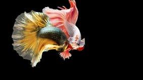 在行动的两条暹罗战斗的鱼,闭合有黑背景,双重ISO技术 红色betta f 图库摄影