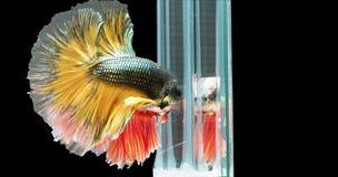 在行动的两条暹罗战斗的鱼,闭合有黑背景,双重ISO技术 红色betta f 库存照片