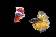 在行动的两条暹罗战斗的鱼,闭合有黑背景,双重ISO技术 红色betta f 免版税库存图片