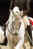 在行动的未知的车手对一匹美丽的灰色lipizzaner马 免版税库存照片