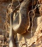 在行动的棉口蛇 库存图片