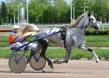 在行动的灰色马奥尔洛夫小跑步马品种 库存图片