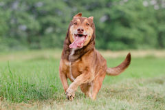 在行动的狗 免版税图库摄影