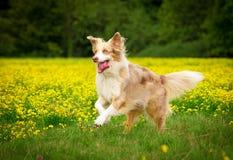 在行动的狗 免版税库存图片