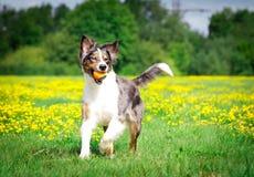 在行动的狗 免版税库存照片