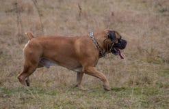 在行动的画象 狗一个罕见的品种-南非Boerboel 库存图片