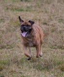 在行动的画象 狗一个罕见的品种-南非Boerboel 免版税库存照片