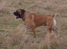 在行动的画象 狗一个罕见的品种-南非Boerboel 库存照片