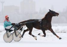 在行动的红色马奥尔洛夫小跑步马品种 库存图片