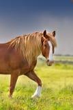 在行动的红色马 免版税库存照片
