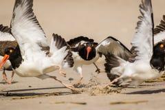在行动的美国蛎鹬,他们在海滩搜寻在一个晴朗的早晨 库存照片