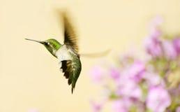 在行动的蜂鸟。 图库摄影