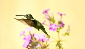 在行动的蜂鸟。 库存图片