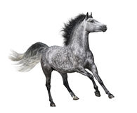 在行动的起斑纹灰色马在白色背景 免版税库存照片