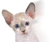 在行动的逗人喜爱的矮小的白考尼什鸡Rex小猫 免版税库存图片