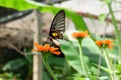 在行动的金黄Birdwing蝴蝶 库存图片