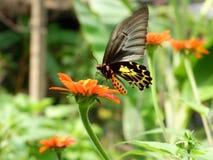 在行动的金黄Birdwing蝴蝶 免版税图库摄影