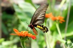 在行动的金黄Birdwing蝴蝶 库存照片