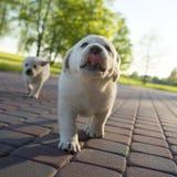 在行动的黄色拉布拉多小狗 免版税库存图片