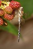 在行动的蜻蜓 免版税库存图片