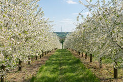 在行的开花的樱桃树在庭院里 农业comcept 免版税库存照片