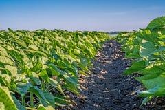 在行的技术小条年轻之间从杂草和向日葵疾病清洗 清楚的域 库存照片