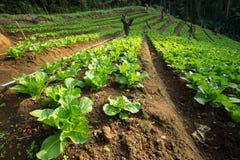 在行的生长莴苣在菜园里 免版税图库摄影