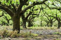 在行的美丽的洋梨树 免版税库存照片