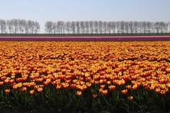 在行的黄色红色郁金香在一块长的花田在Oude-Tonge o 库存照片