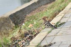 在街道上的一只啄木鸟 免版税库存图片