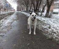 在街道上的一只孤独的流浪狗在冬天 库存照片