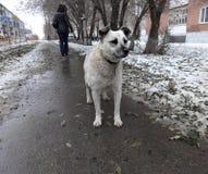 在街道上的一只孤独的流浪狗在冬天 免版税库存图片