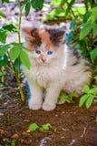 在街道上的一只小蓝眼睛的小猫 免版税库存照片