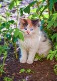 在街道上的一只小蓝眼睛的小猫 库存图片