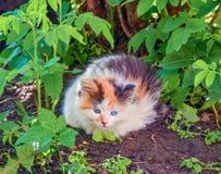 在街道上的一只小蓝眼睛的小猫 图库摄影