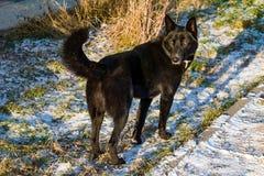 在街道上的一条大黑杂种狗在冬天 库存照片