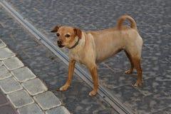 在街道上的一条小红发狗 咆哮声 宠物概念 免版税库存照片