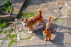 在街道上的两条棕色狗 免版税图库摄影