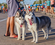 在街道上的两条灰色西伯利亚爱斯基摩人狗 免版税库存图片