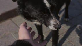 在街道上的人手接触大黑白狗 晴朗的日 冷的树荫 敌意 影视素材