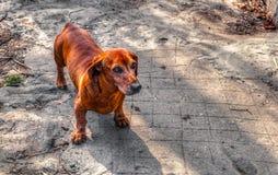 在街道上的小的棕色狗 免版税库存图片