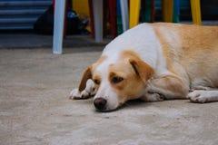 在街道上的无家可归的狗 看在镇里的狗 哀伤的疲乏的宠物 说谎在地板上的狗 无家可归的动物概念 免版税库存照片