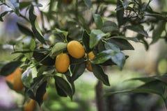 在街道上的柑橘树 免版税图库摄影