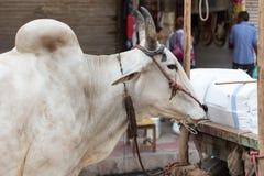 在街道上的母牛在德里,印度 免版税库存照片