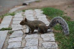 在街道上的灰鼠 库存图片