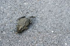 在街道上的牛蛙 图库摄影