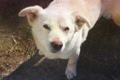 在街道上的白色狗 r 免版税库存照片