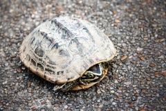 在街道上的短冷期恐惧乌龟 免版税库存照片