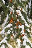 在街道上的积雪的冷杉分支在波摩莱,保加利亚冬天2017年 库存图片