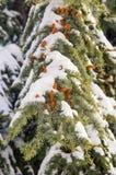 在街道上的积雪的冷杉分支在波摩莱,保加利亚冬天 免版税库存图片
